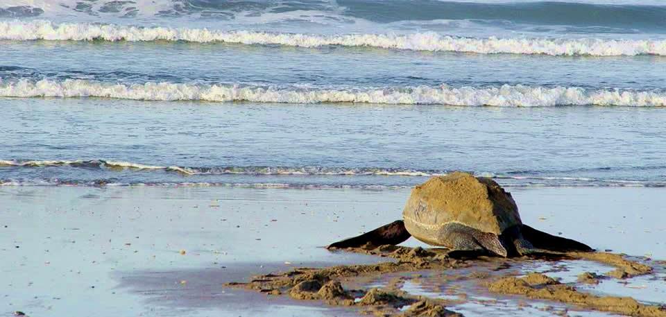 tamarindo turtle tour
